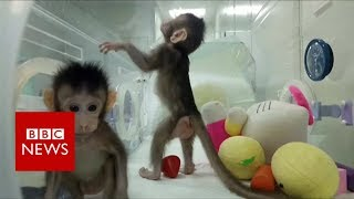 First monkeys cloned in Chinese lab - BBC News