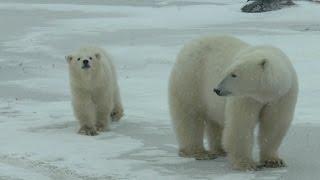 白クマ親子の軽食