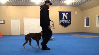 Sugar (boxer) Boot Camp Dog Training Video