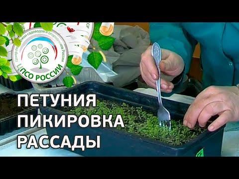 Как пикировать рассаду петунии. Петуния пикировка рассады. | выращивание | пикировать | пикировка | рассада | петунии | сеянцы | клумба | семян | цве | из