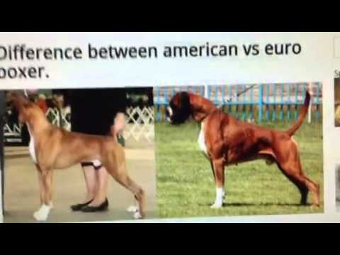 the-difference-between-american-vs-german-boxers