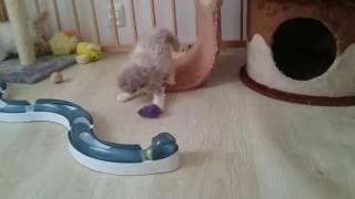 Hodowla kotów rasy Selkirk Rex - GREMLIN*PL  - Mamy kocięta