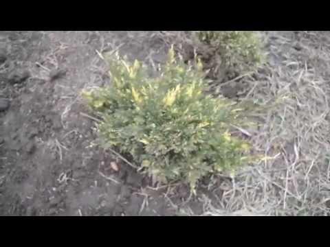 Можжевельник Andorra Variegata | Садовый центр Агро24