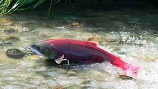Best Wild Life Documentary : Salmon