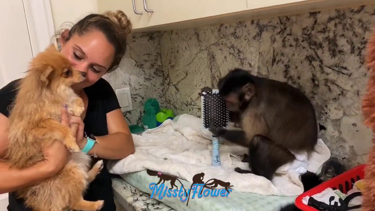 Monkey Toby helps Sissy with Cookie the dog's bath by  combing her hair