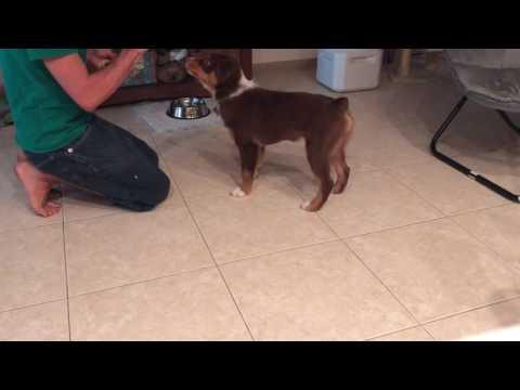 Homer - Australian Shepherd - smart puppy does so many tricks!