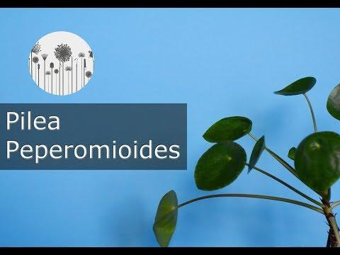 Pilea peperomioides - pieniążek. Hodowla, uprawa, wymagania, pielęgnacja