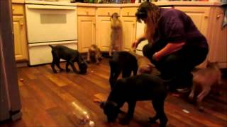 A Saturday Night Social with Blu Dragon Cane Corsos