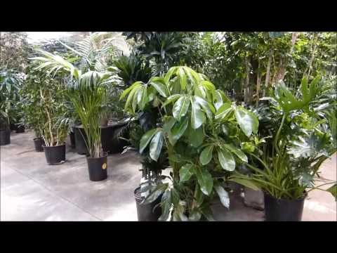 Kentia and Raphis Palm Tree For Homes