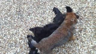 La Mouche Du Coche, Quand Chewie Le Border Terrier Attaque Themis Le Cocker