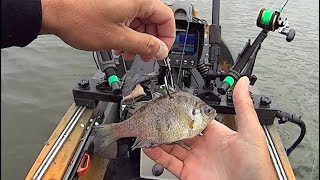 Baiting With Bluegill