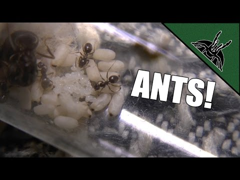 Ant colony IS GROWING! - Lasius niger update