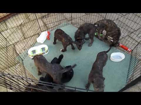Lurcher x Deerhound Puppies Day 58