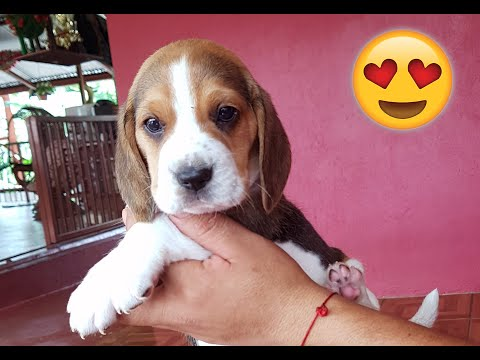 Cute Beagle Puppy 🐶 Gogo! 4 to 16 Weeks! Compilation Part 1