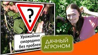7 секретов урожая смородины. Зачем смородина садоводу