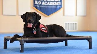 Frankie (Labrador Retriever) Psychiatric Service Dog Demonstration