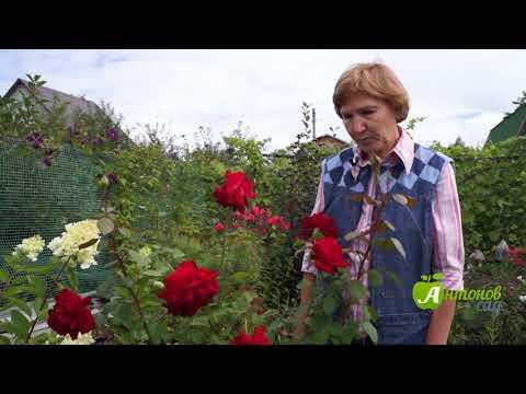 Как сохранить розу на зиму дома