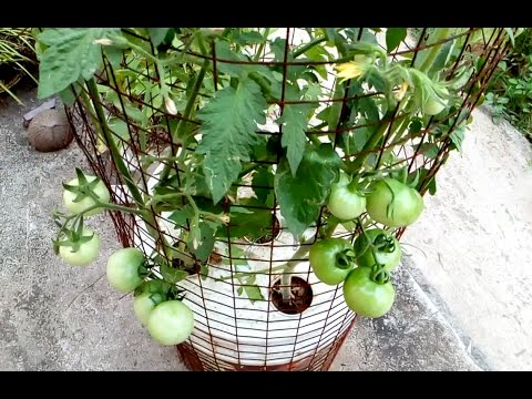 Tomato grow in a self watering tree pot on the roof