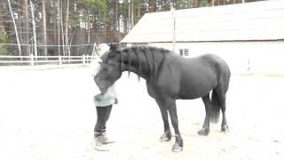 Лошади. Как самому обучить лошадь. Мой фризик.  video about horses, I like horsesvideo about horses