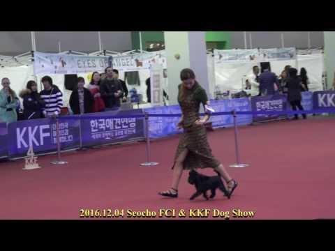 2016.12.04 Seocho FCI & KKF Dog Show( Affenpinscher)