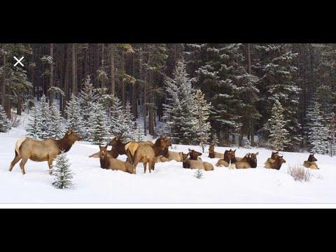 caceria de alce craig colorado 2018  craig colorado elk hunt
