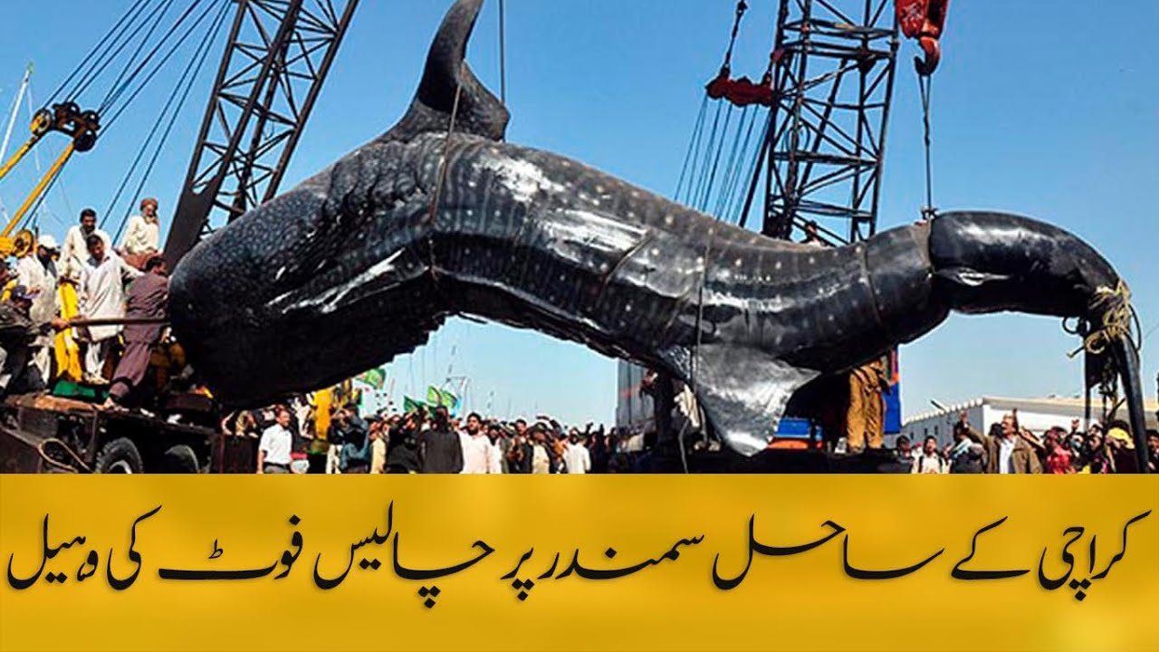 Giant fish found in pakistan worlds biggest whale shark found in giant fish found in pakistan worlds biggest whale shark found in pakistan strange creature thecheapjerseys Choice Image