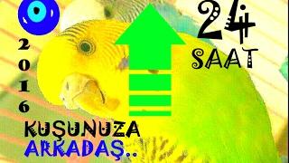 ㉔KUŞLAR COŞTU▬BAYILDI😁Muhabbet Kuşu Sesi Uzun●24 saat#muhabbet kuşu sesi#En uzun video#24 saatlik