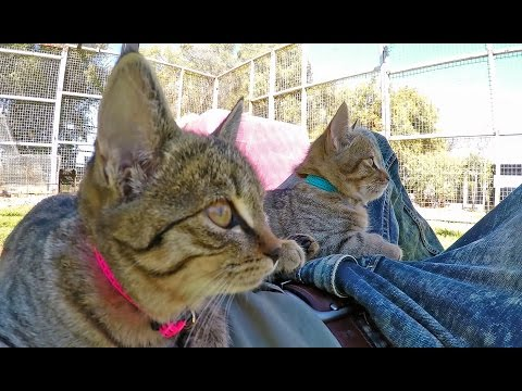 Africa Wild Cats - House Tabby Cat or Native?  Kittens Play Sleep Purr Knead Scare & Eat
