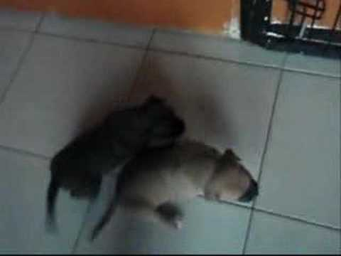 Pitbull Puppies 3 weeks old 4 sale NJ