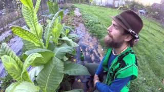 Tobacco the Taboo Plant with Herbal Jedi Yarrow Willard