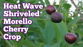 Heat Wave Shriveled The Morello Cherry Crop