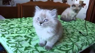 Невская маскарадная продаётся котёнок