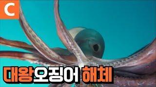 페루 대왕오징어 해체 작업