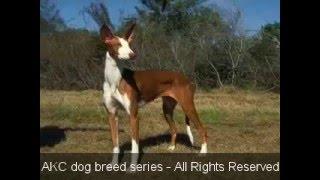 Ibizan Hound Dog Breed information