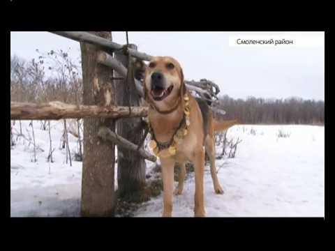 Русские гончие на Алтае