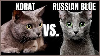 Korat Cat VS. Russian Blue Cat