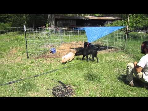Dog and Pig Playing!