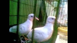 Tips Panduan Beternak Burung Perkutut Putih | Burung Perkutut Gacor