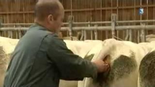 En Normandie les vaches envoient des SMS