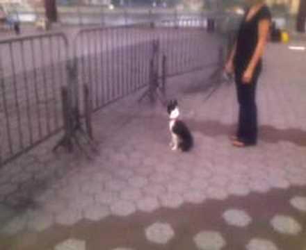 Boston Terrier- Aggressive