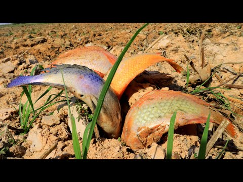 Unbelievable ! Dry Soil Fishing 2021 Easy Catching Finding Fishes In Dry Season