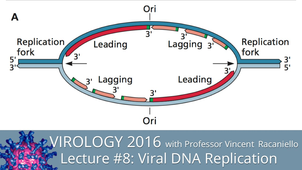 Virology Lectures 2016 8 Viral Dna Replication Youtube