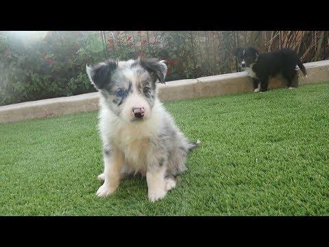Australian Shepherd Puppies: Week 7