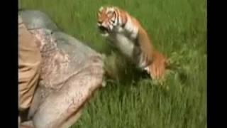 衝撃映像 トラに襲われる 怖いよ.