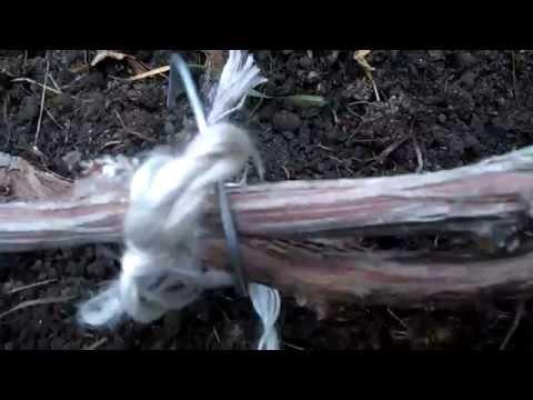 Как обрезать виноград. Обрезка винограда осенью