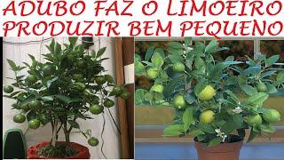 Esse Adubo Faz Limão Produzir Ainda Pequeno Em Vasos – Veja que Lindo