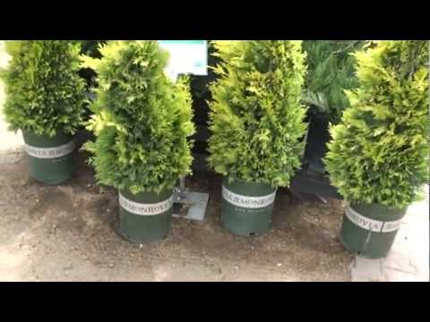 gold rider leyland cypress 30 sec plant of the day. Black Bedroom Furniture Sets. Home Design Ideas