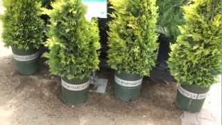 Gold Rider Leyland Cypress 30 sec Plant of the Day -  Cupressus leylandii 'Gold Rider'