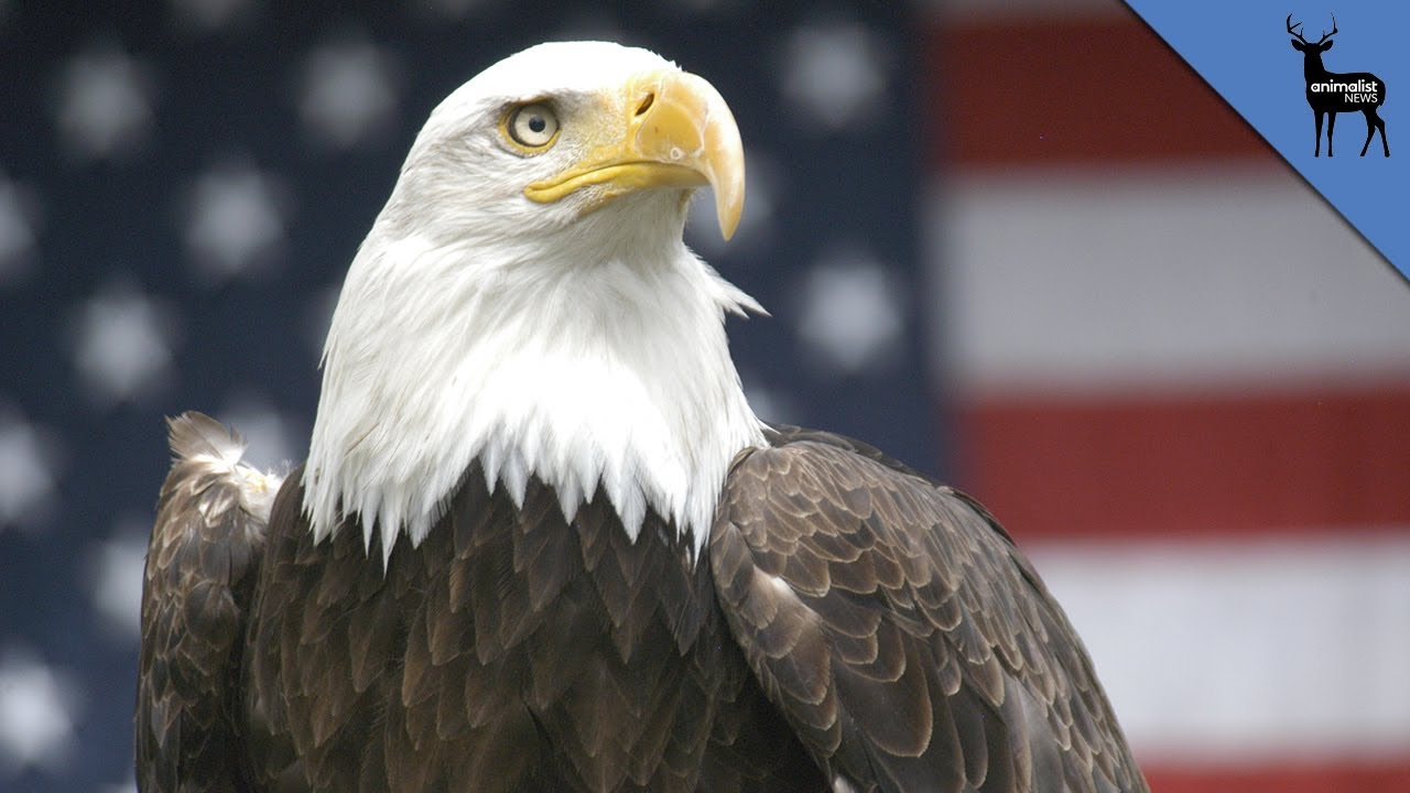 Why does the bald eagle represent america youtube why does the bald eagle represent america biocorpaavc
