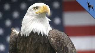 Video Why Does The Bald Eagle Represent America? download MP3, 3GP, MP4, WEBM, AVI, FLV Juli 2018